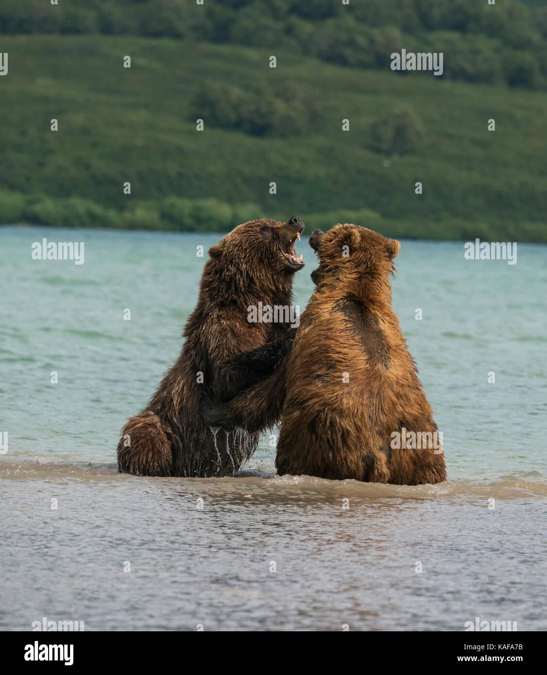 Two male brown bears fighting for dominance, Kuril Lake, Kamchatka, Russia. - Stock Image