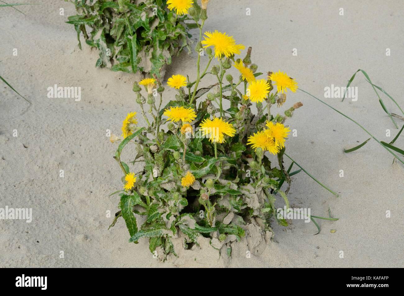 Cars ear Hypochaeris radicata  flowers growing on mobile dunes Pembrey Burrows and Saltings Nature Reserve Millenium Stock Photo