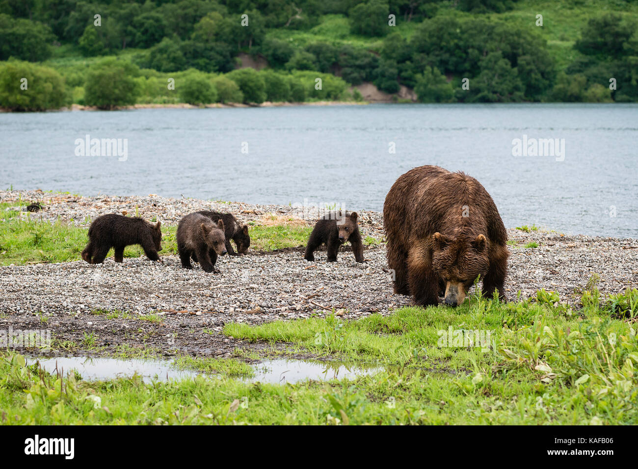 Mother brown bear and her four cubs, Kuril Lake, Kamchatka, Russia. Stock Photo