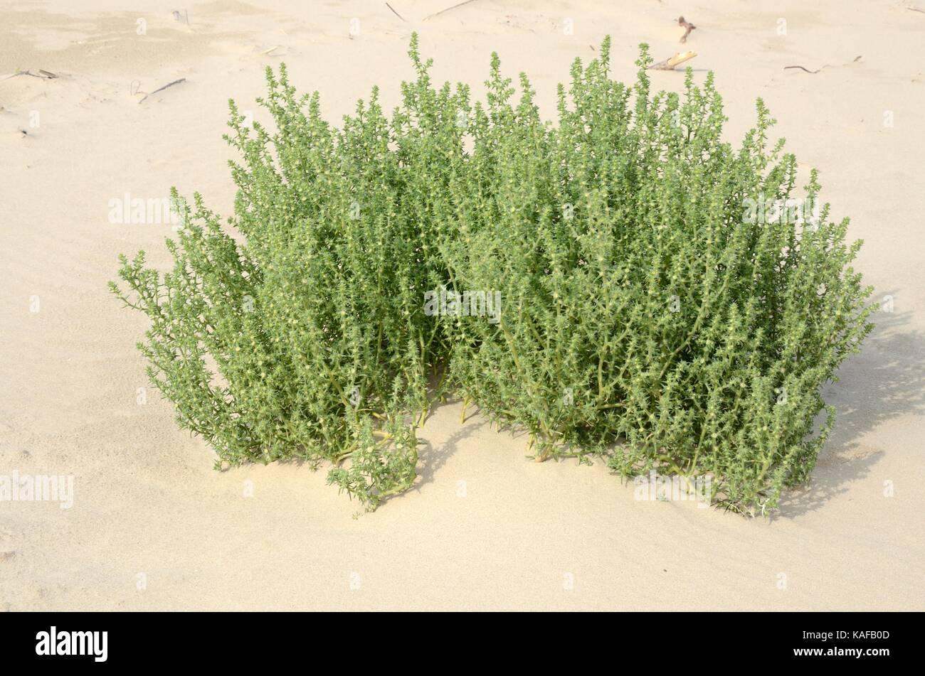 Saltwort Salsola kali growing on embryo dunes Pembrey Burrows and Saltings Local nature Reserve Millenium Coastal Stock Photo