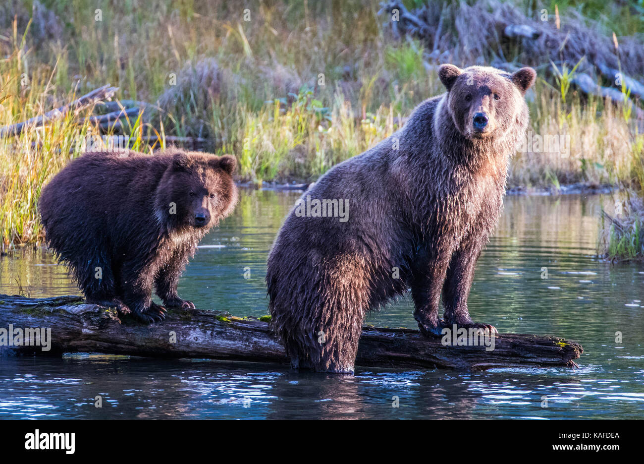 Wild Alaskan Brown Bear looking for salmon in Eagle River. Mama bear showing cub how to catch salmon. - Stock Image