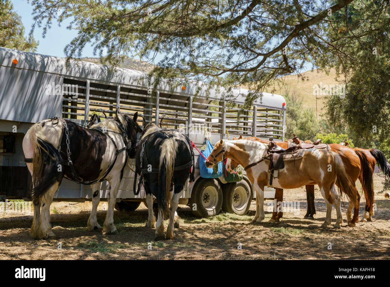 Horses of Lavender Festival of 123 Farm at San Bernardino, Los Angeles County, United States - Stock Image
