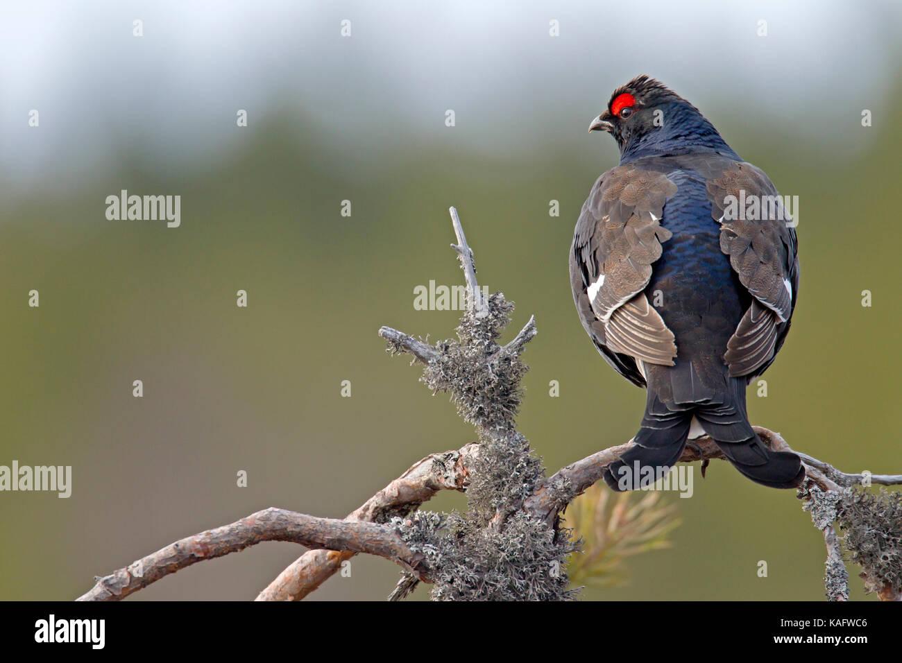 Black Grouse (Tetrao tetrix, Lyrurus tetrix) Blackcock perched on the branch of a pine - Stock Image
