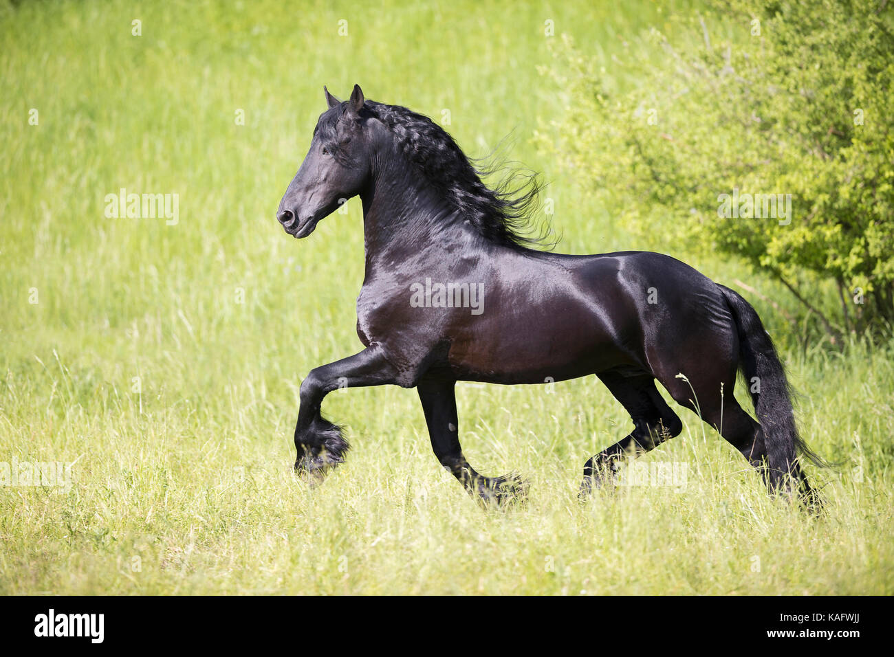 Black Horse High Resolution Stock Photography And Images Alamy