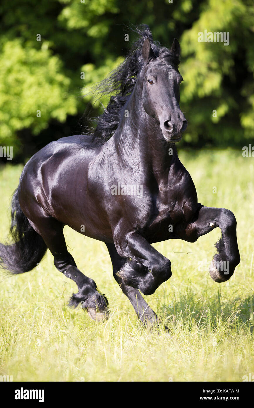 Friesian Horse. Black stallion galloping on a meadow. Austria - Stock Image