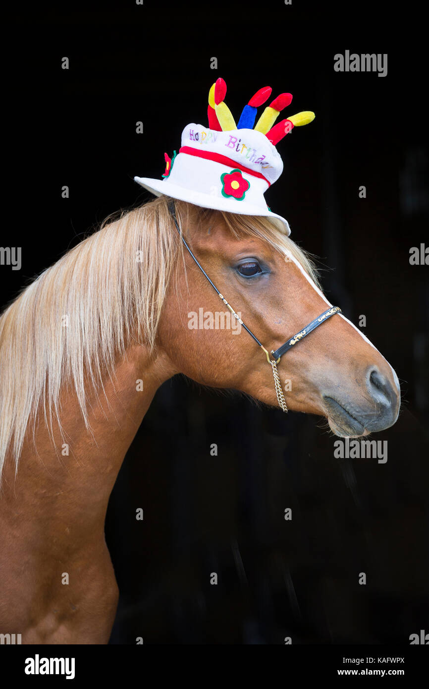 Arabian Horse Juvenile Chestnut Stallion Wearing A Hat Shaped Like Birthday Cake