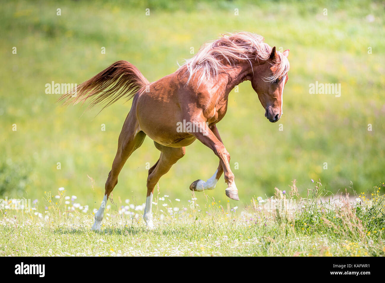 Arabian Horse. Juvenile chestnut stallion leaping on a pasture. Austria Stock Photo