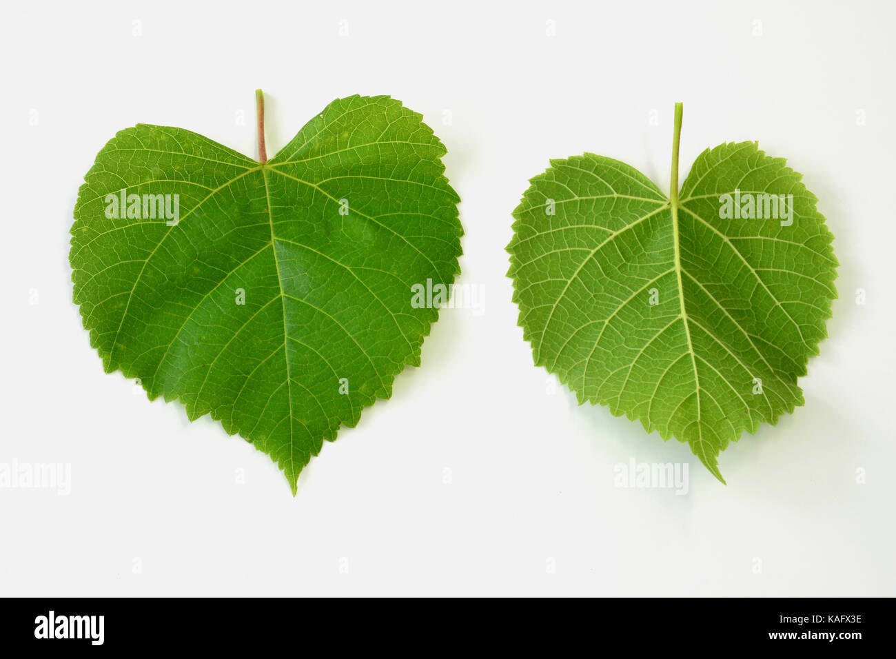 Large-leaved Lime (Tilia platyphyllos) leaves, front and backside, studio picture Stock Photo