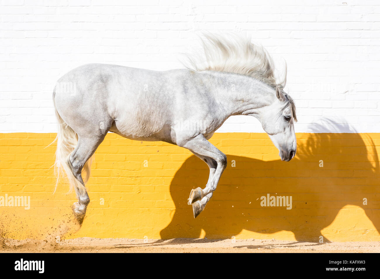 Pure Spanish Horse, Andalusian. Gray stallion leaping in a paddock. Spain - Stock Image