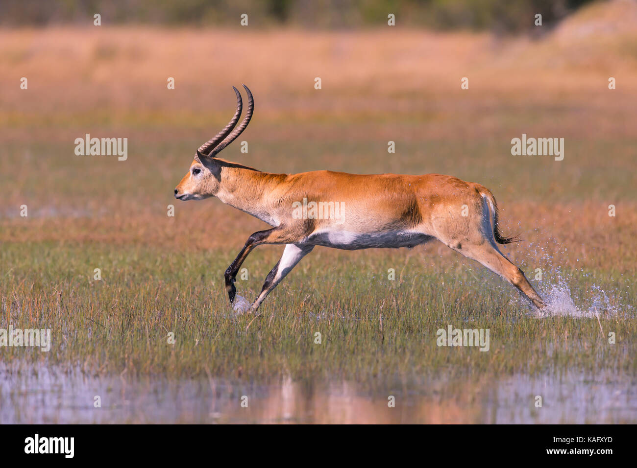 Red Lechwe (Kobus leche leche) Male, buck takes flight in leaping bounds through the freshwater marsh - Stock Image