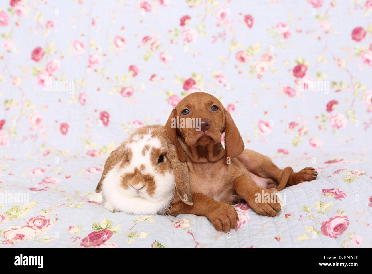 Vizsla. Puppy (6 weeks old) and dwarf lop-eared rabbit lying on a blue blanket with rose flower print. Germany - Stock Image