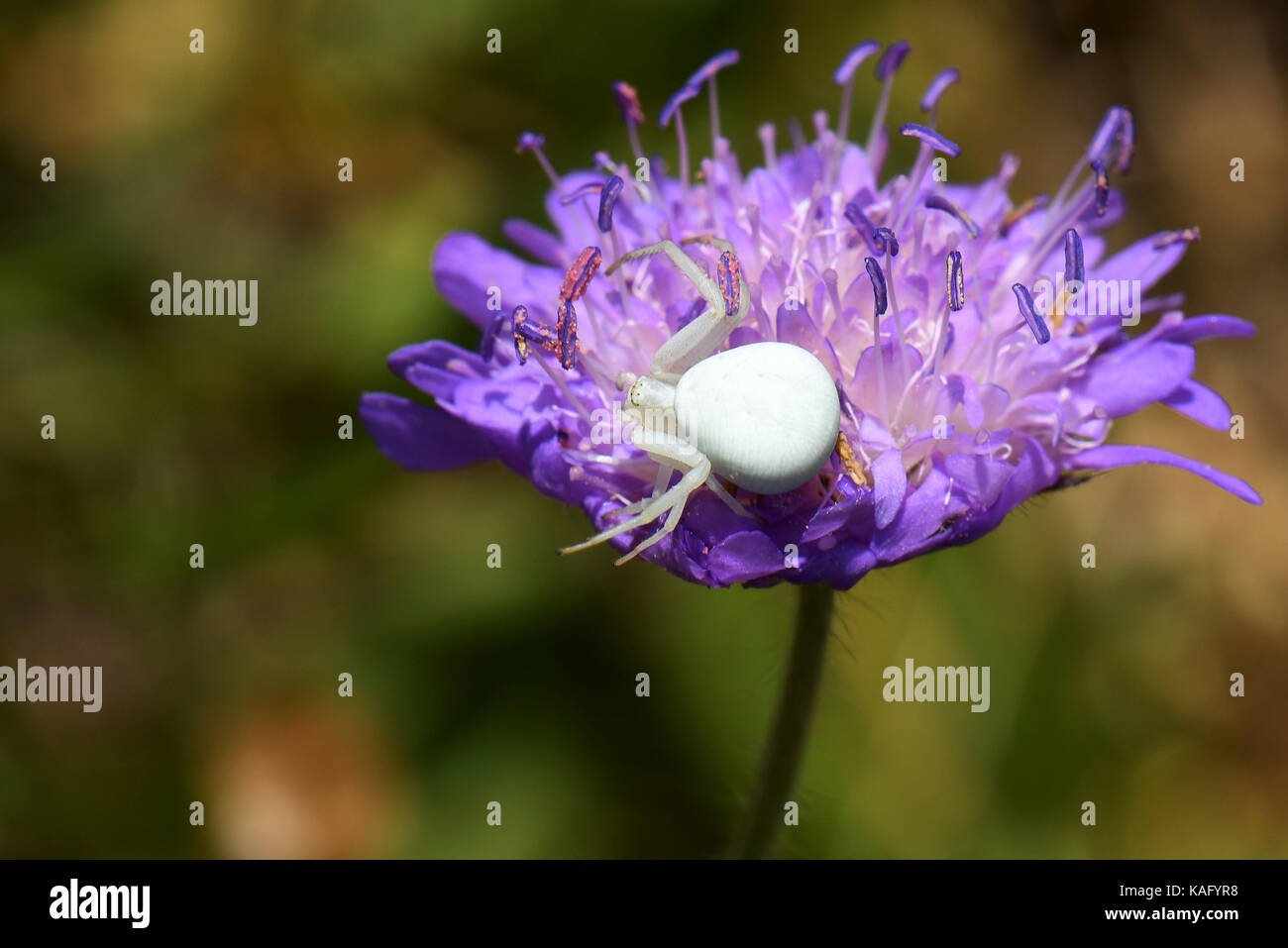 Goldenrod Crab Spider (Misumena vatia) on a Scabious flower - Stock Image