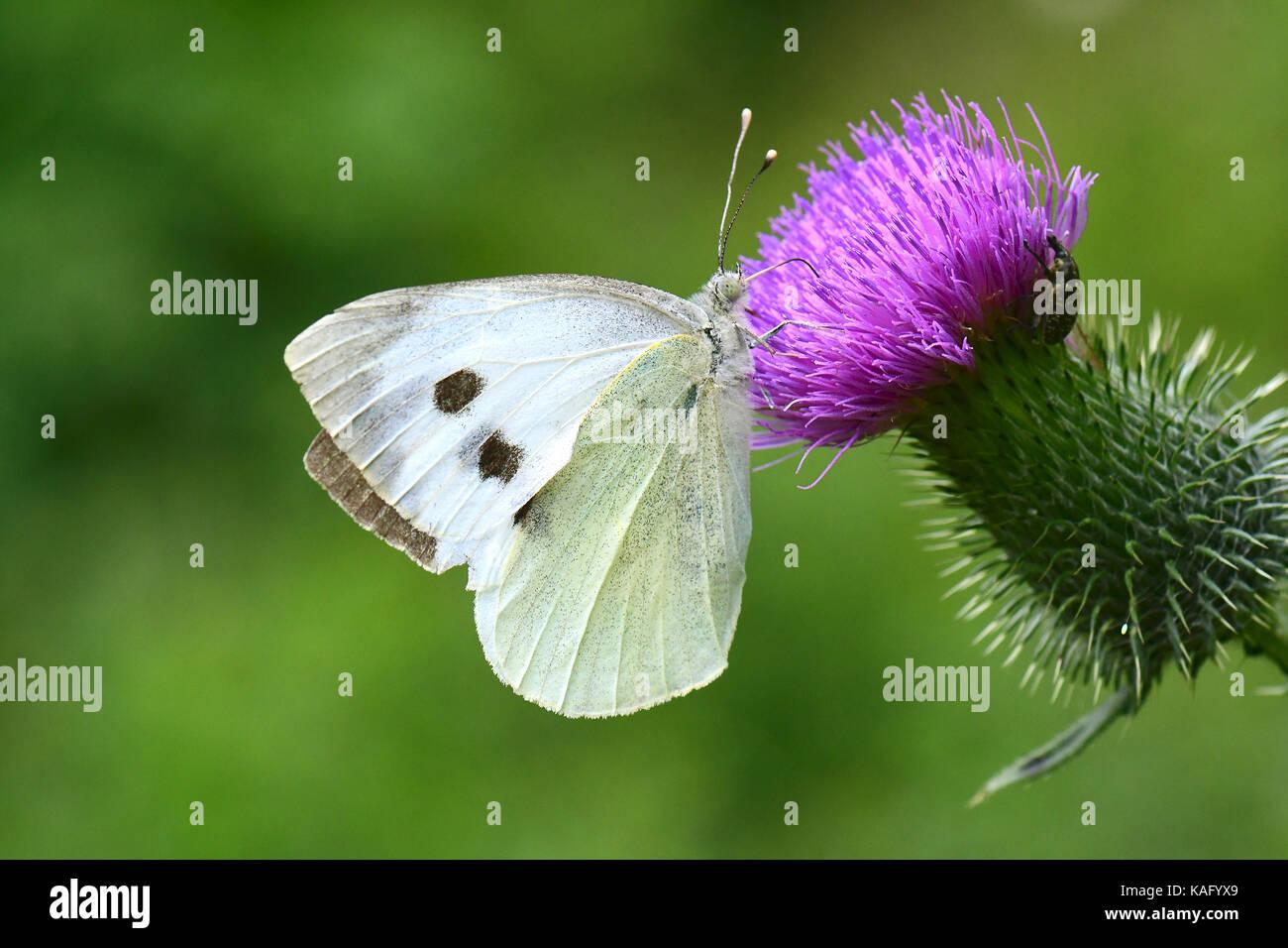Large White (Pieris rapae), sucking nectar from flowering Thistle (Cirsium sp.). - Stock Image