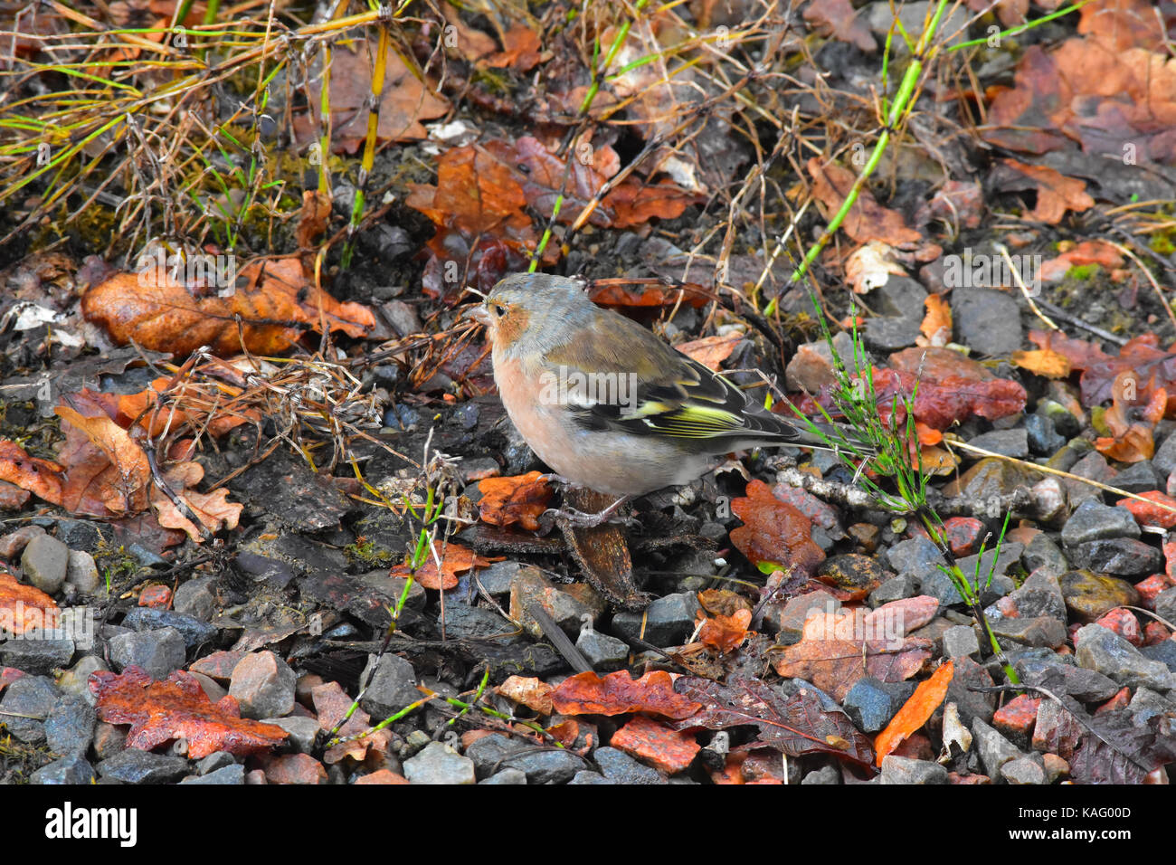 Chaffinch sitting at the side of a river bed - Stock Image