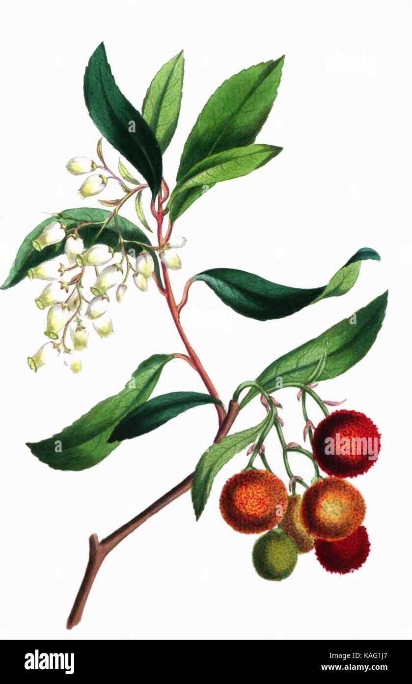 arbousier en fleurs et en fruits-  1836 - Stock Image