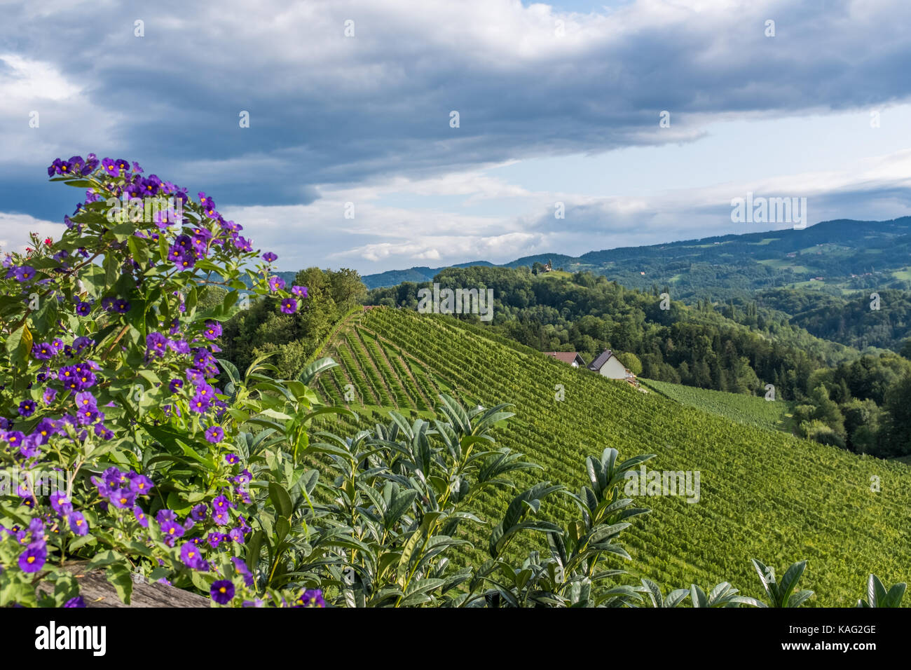 Vineyard with violet pelargonium flowers in south Styria in Austria - Stock Image