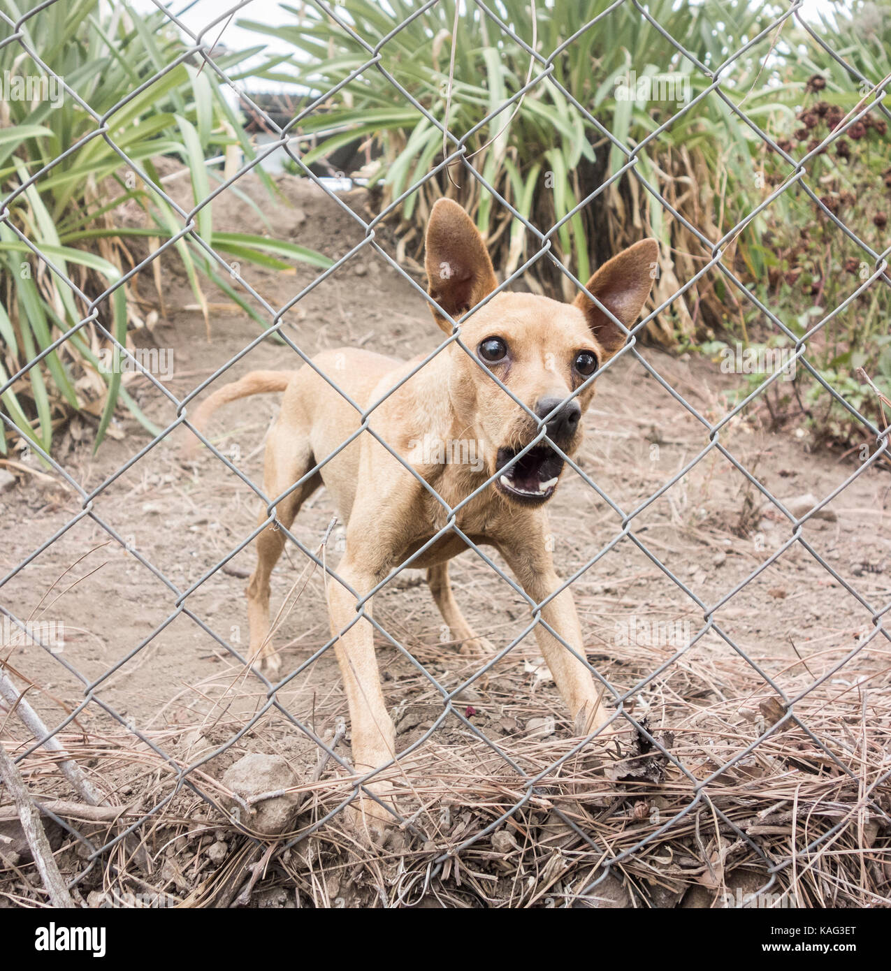 Small dog protecting remote property in Spain barking loudly behind fence. Stock Photo