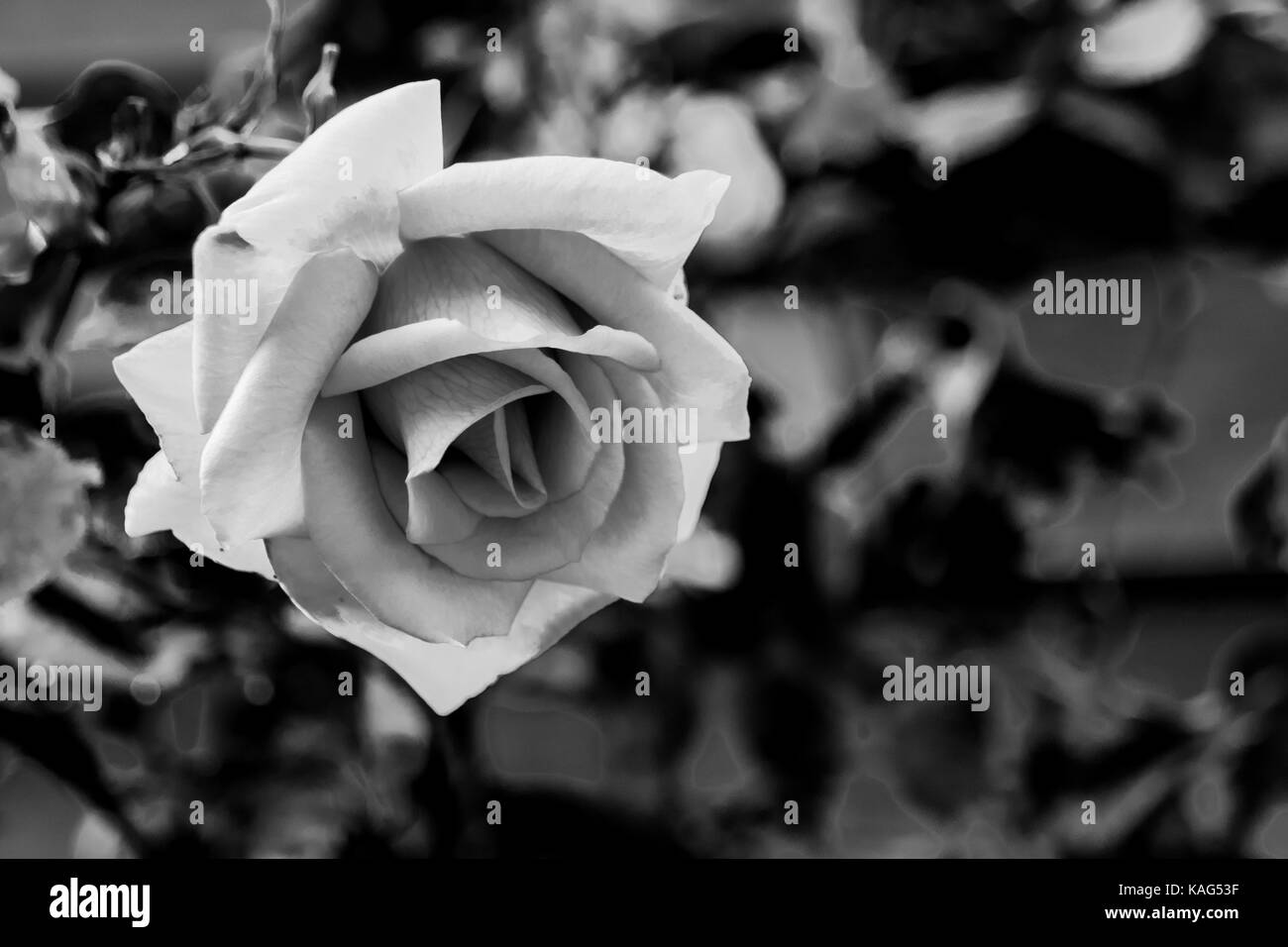 Black And White Monochrome Image Of Blooming Rose Flower Stock Photo