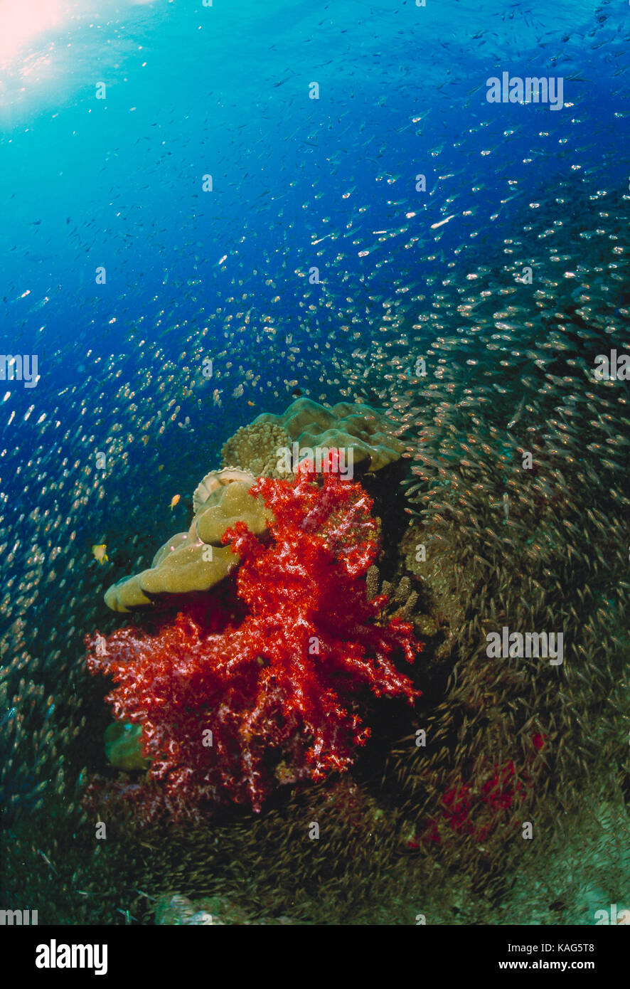 Thailand. Similan Islands. Underwater view of small fishes encircling soft corals. - Stock Image
