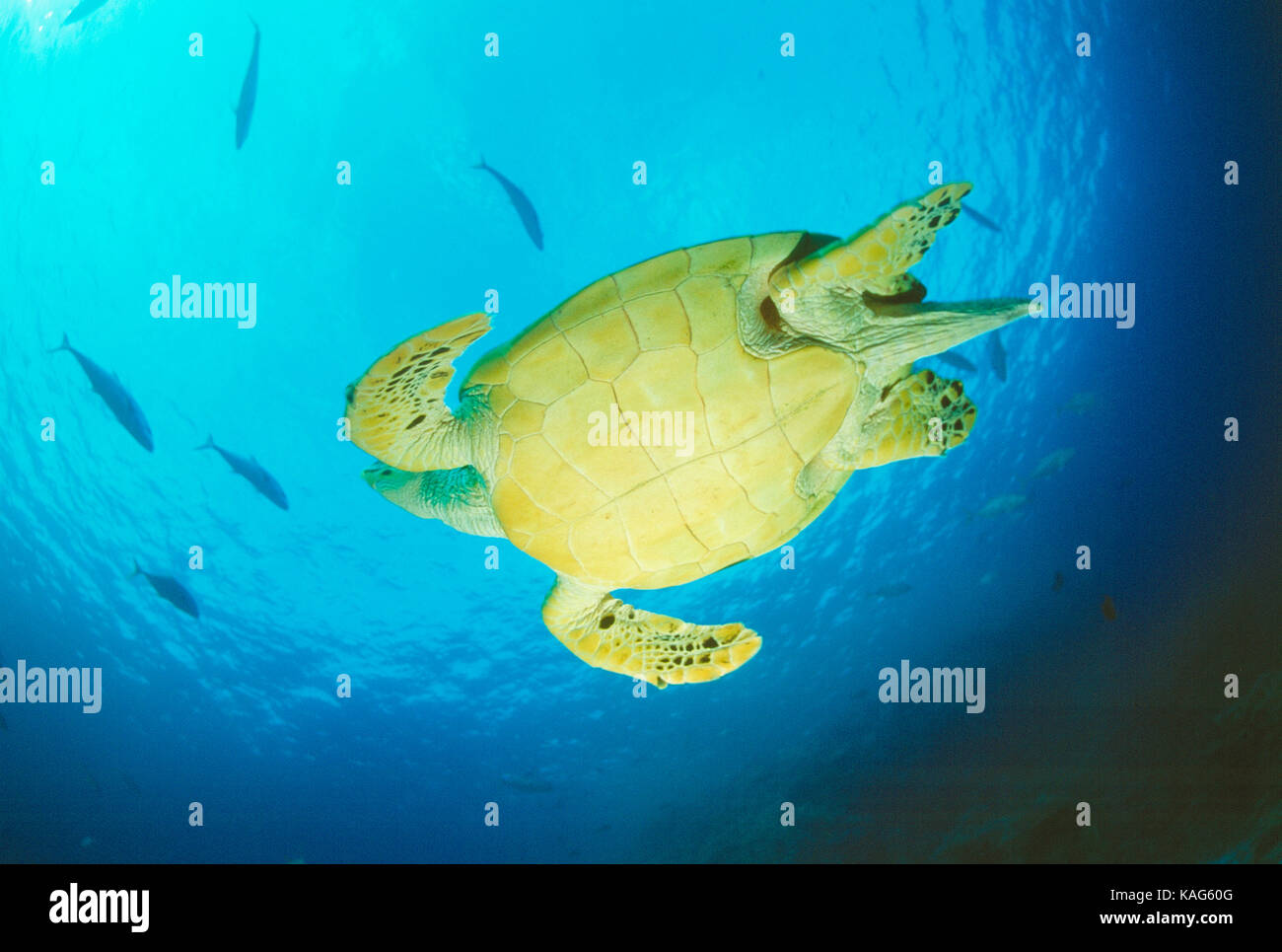 Egypt. Red Sea. View of underside of Hawksbill Turtle swimming underwater. - Stock Image