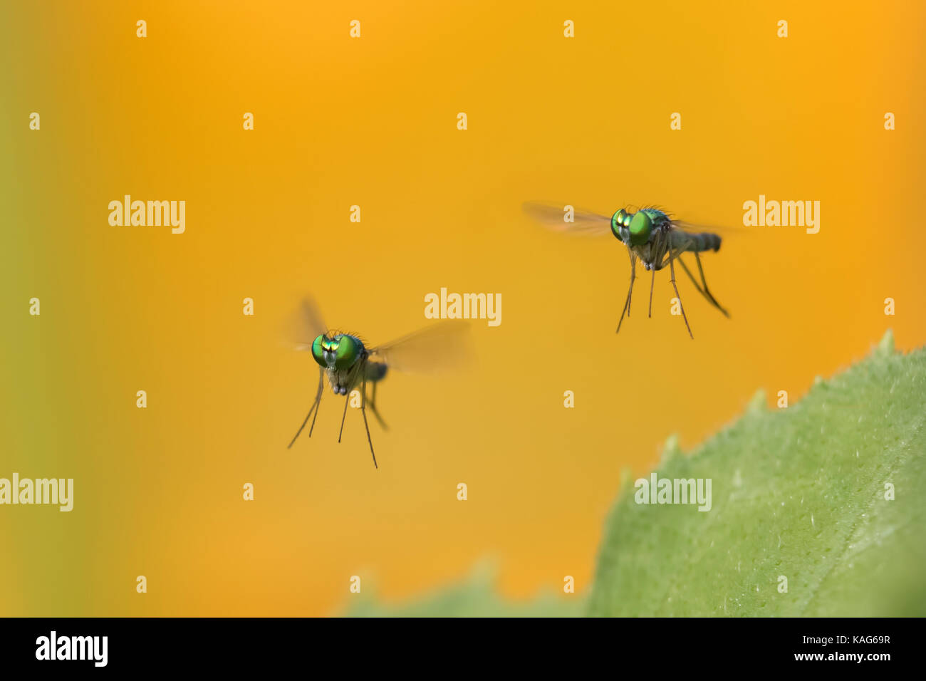 long-legged flie, Condylostylus genus in flight Stock Photo