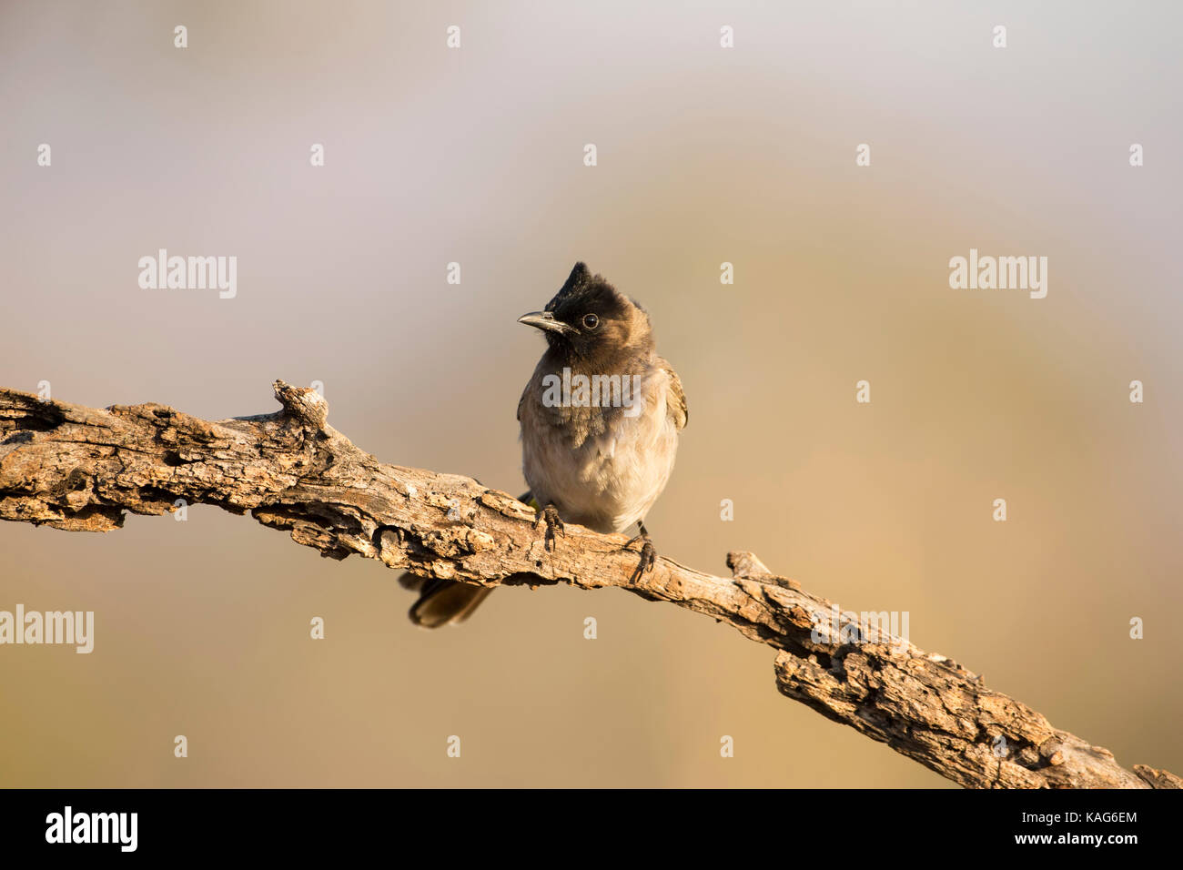 Dark-Capped (Black eyed) Bulbul Pycnonotus tricolor perched on a plain branch - Stock Image