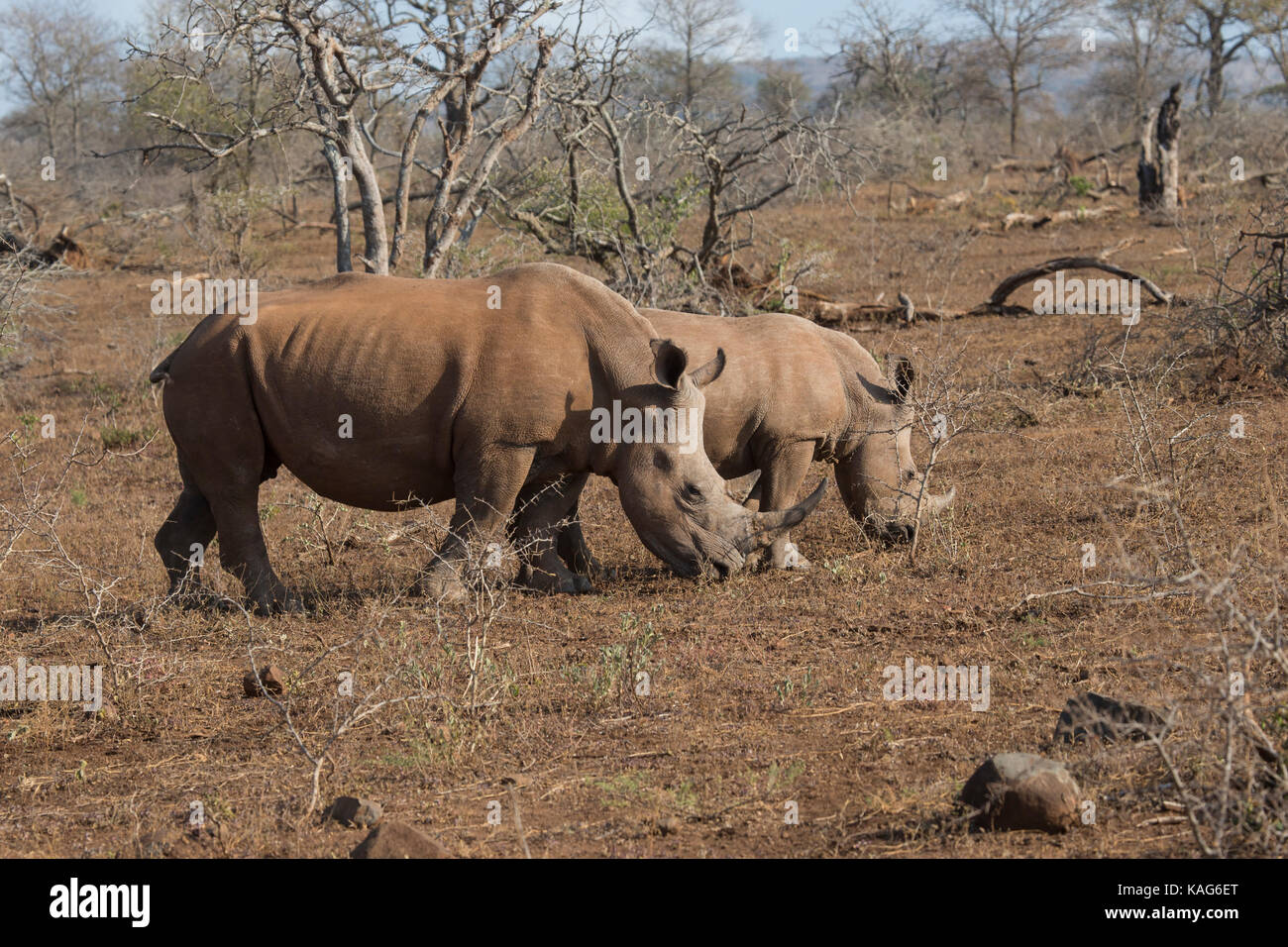 A pair of Adult White Rhinoceros Ceratotherium simum  in open scrubland in South Africa - Stock Image