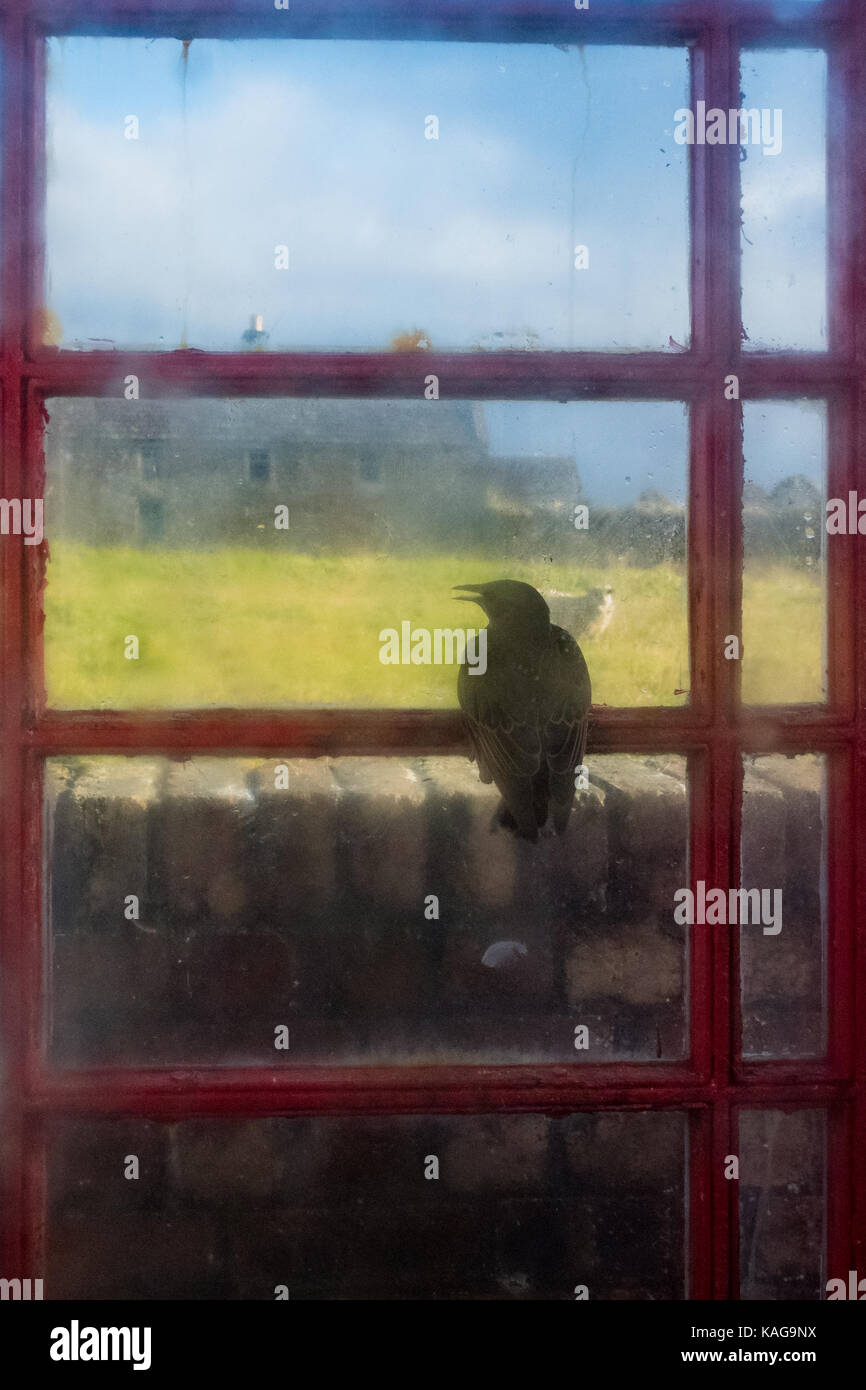 Starling trapped inside telephone box looking out through window - Stock Image