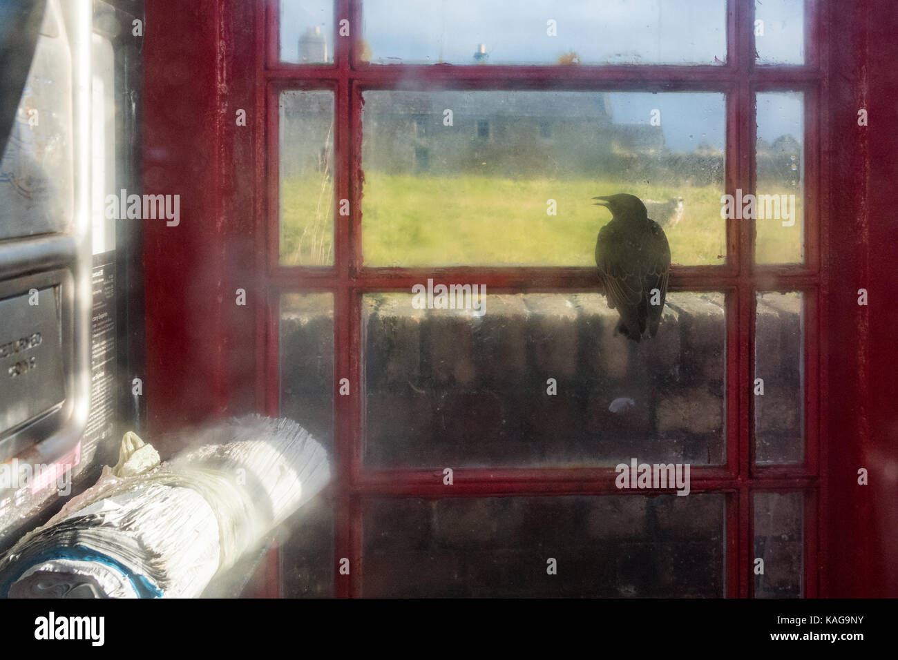 Starling trapped inside telephone box looking out through window Stock Photo