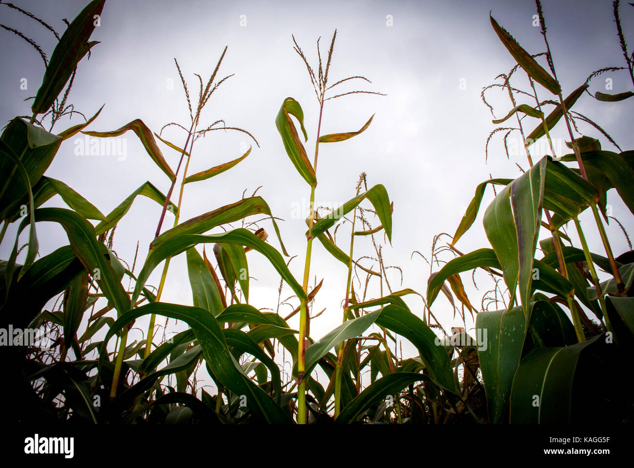 Maize crop being grown in Salzatal, Saxony-Anhalt, Germany for use as Bio Fuel. - Stock Image