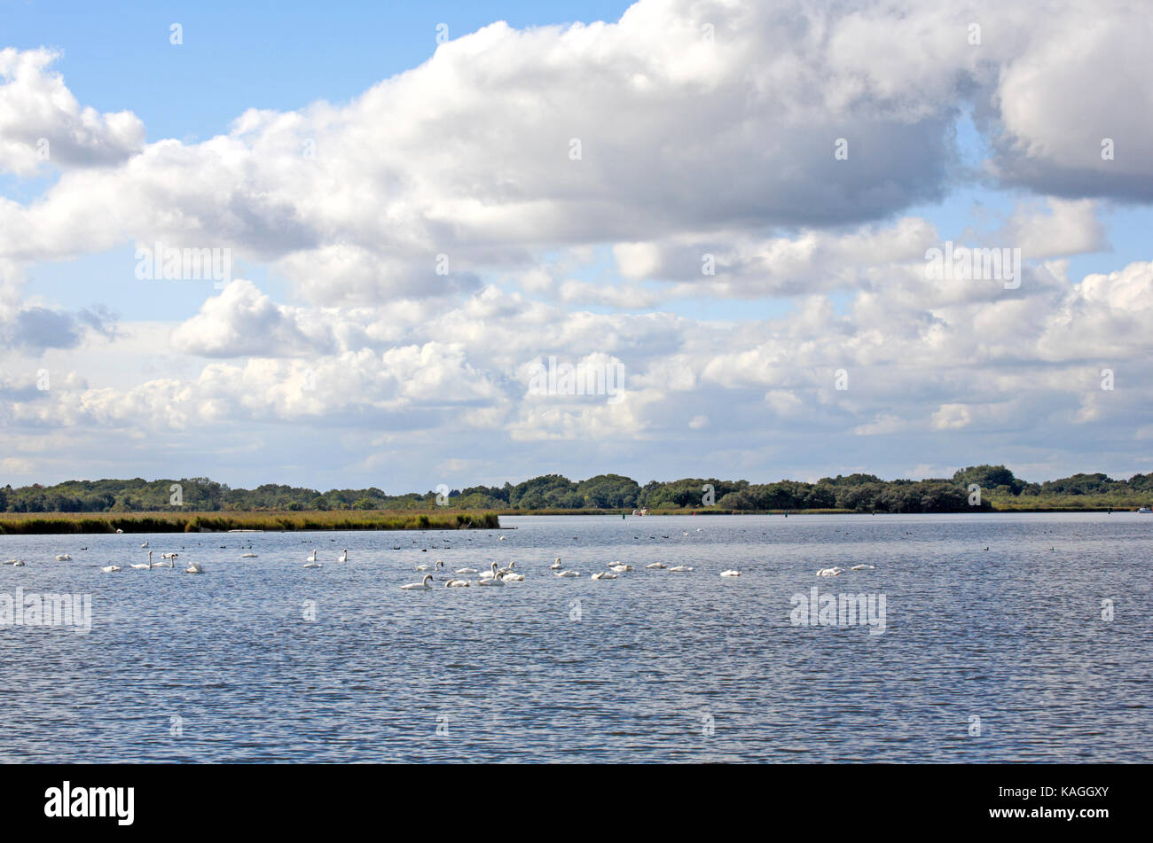 A herd of Mute Swans, Cygnus olor, on Hickling Broad National Nature Reserve, Norfolk, England, United Kingdom. - Stock Image