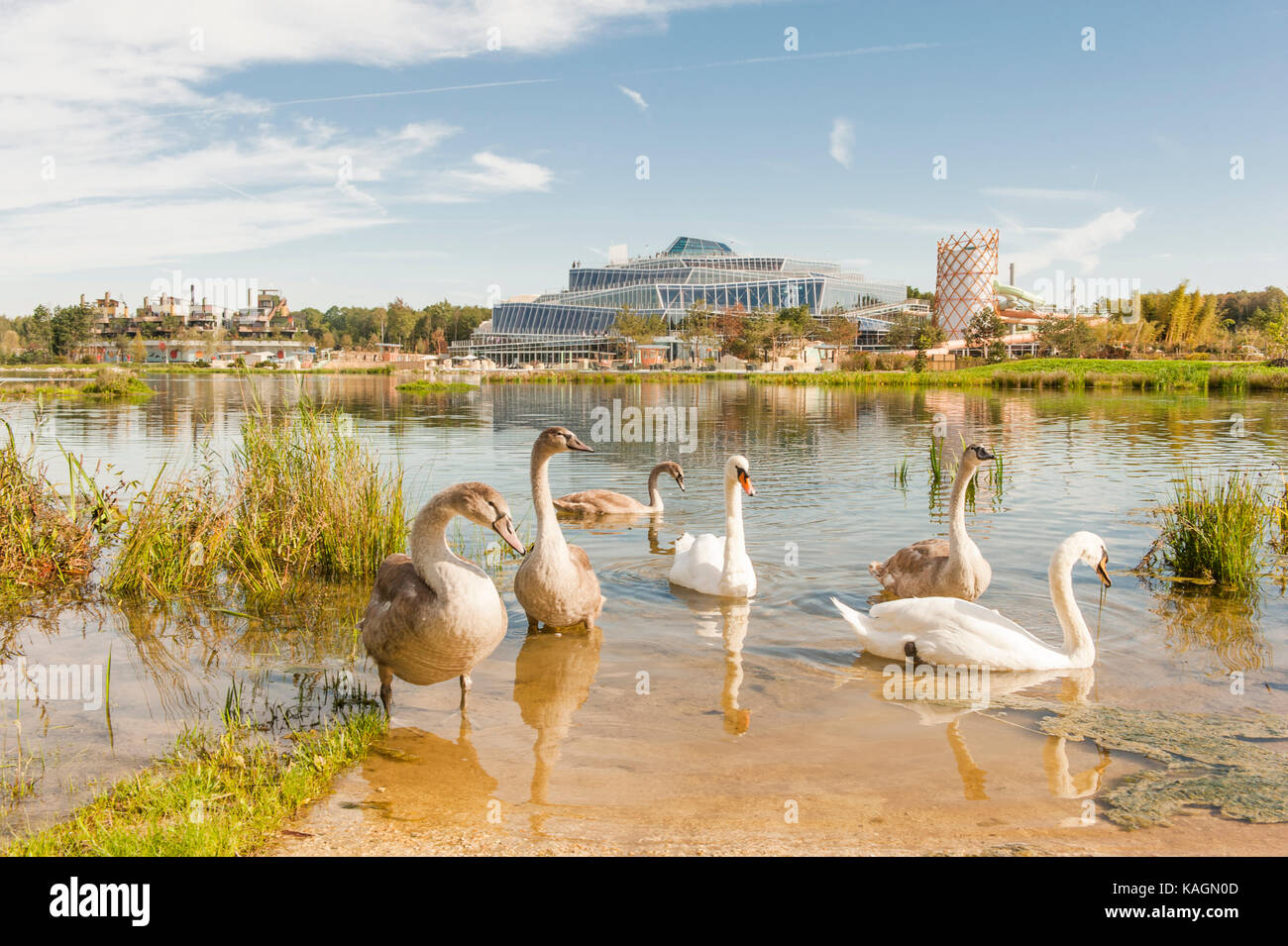 Swans are at home on the artificial lake of Villages Nature Paris - Stock Image