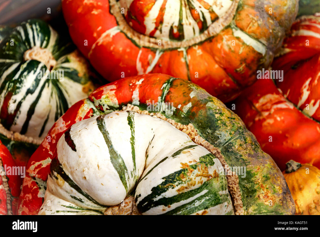 "Big and beautiful ""Turks Turban"" or French Turban Squashes Stock Photo"