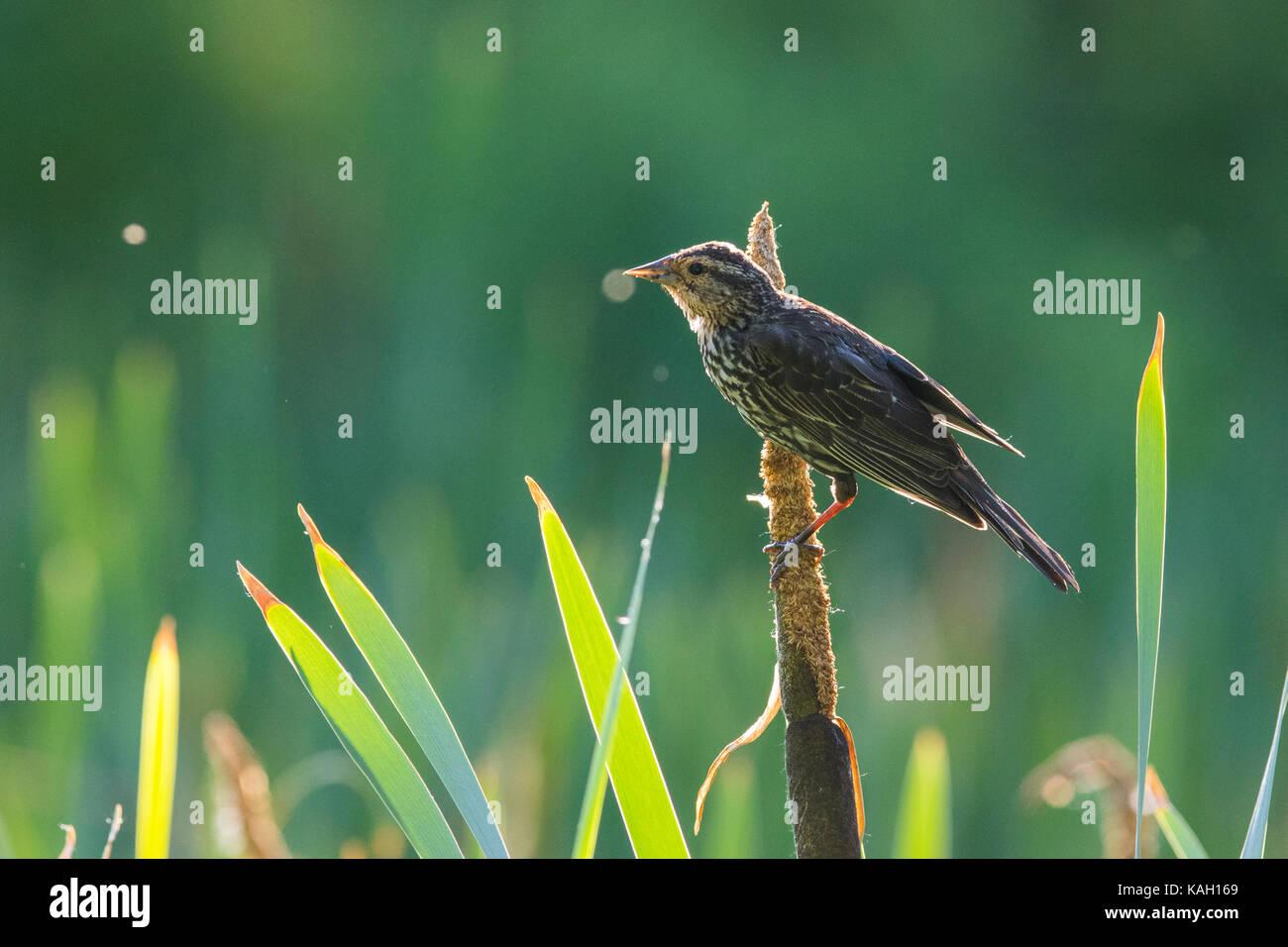 red winged blackbird baby - Stock Image