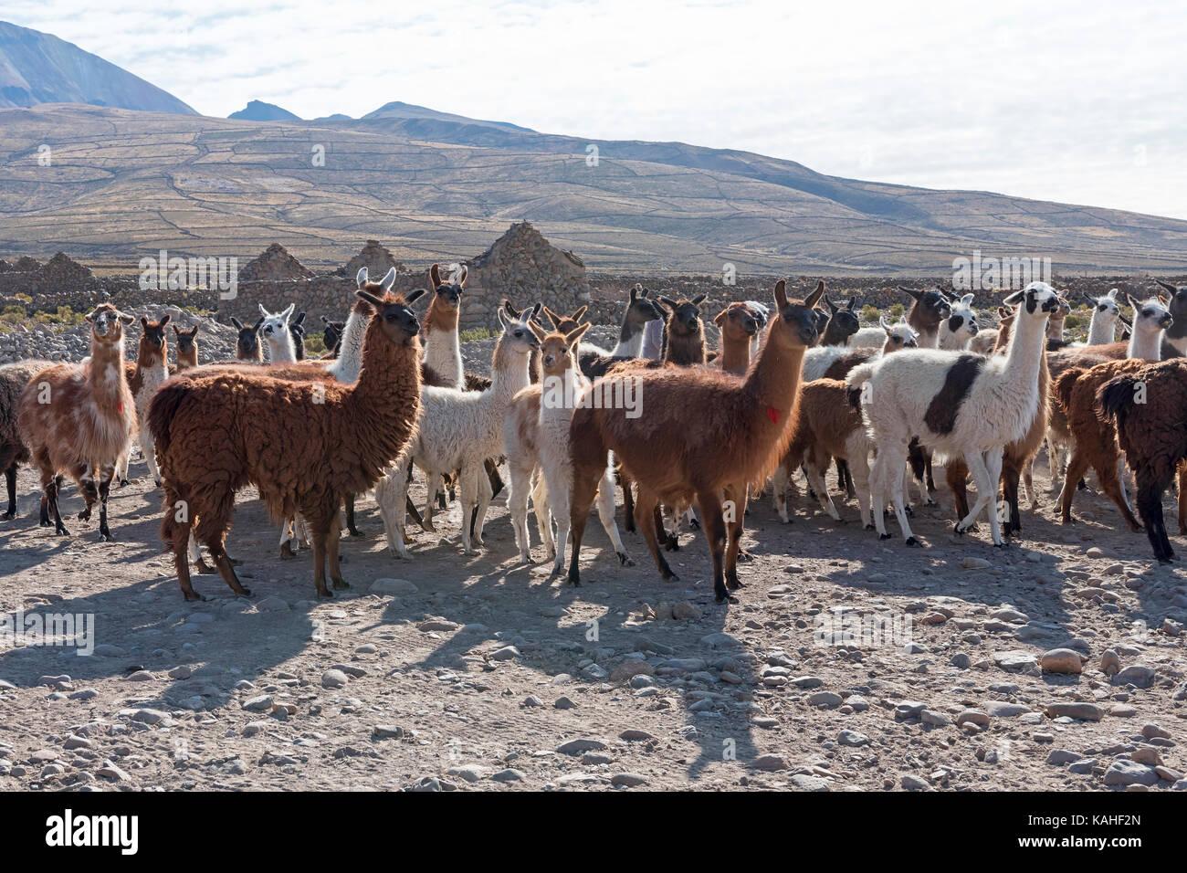 Llamas (Lama glama), herd in barren landscape, Altiplano, Andes, Colchani, Potosí, Bolivia - Stock Image