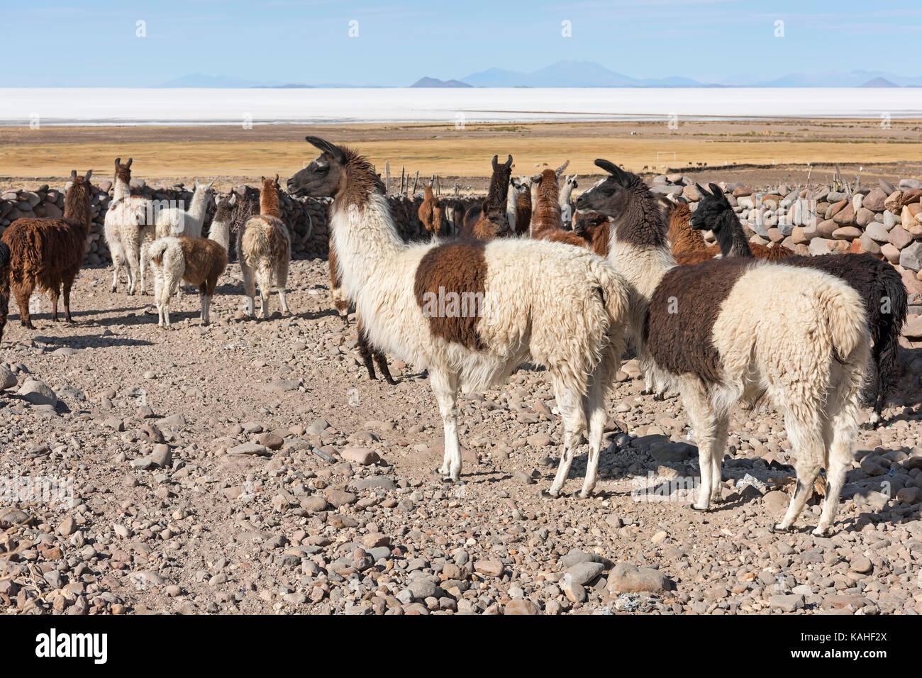 Llamas (Lama glama), herd in barren landscape, Altiplano, Colchani, Potosí, Bolivia - Stock Image