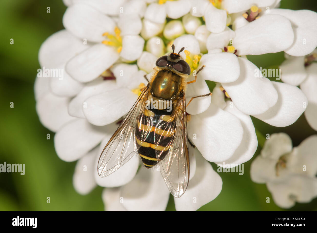 Hairy hover fly (Syrphus torvus), female on Evergreen candytuft (Iberis sempervirens), Baden-Württemberg, Germany - Stock Image