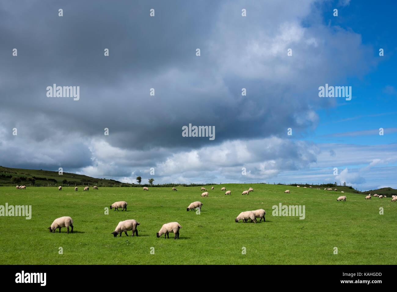 Sheep pasture near Ballycastle, County Antrim, Northern Ireland, Great Britain - Stock Image