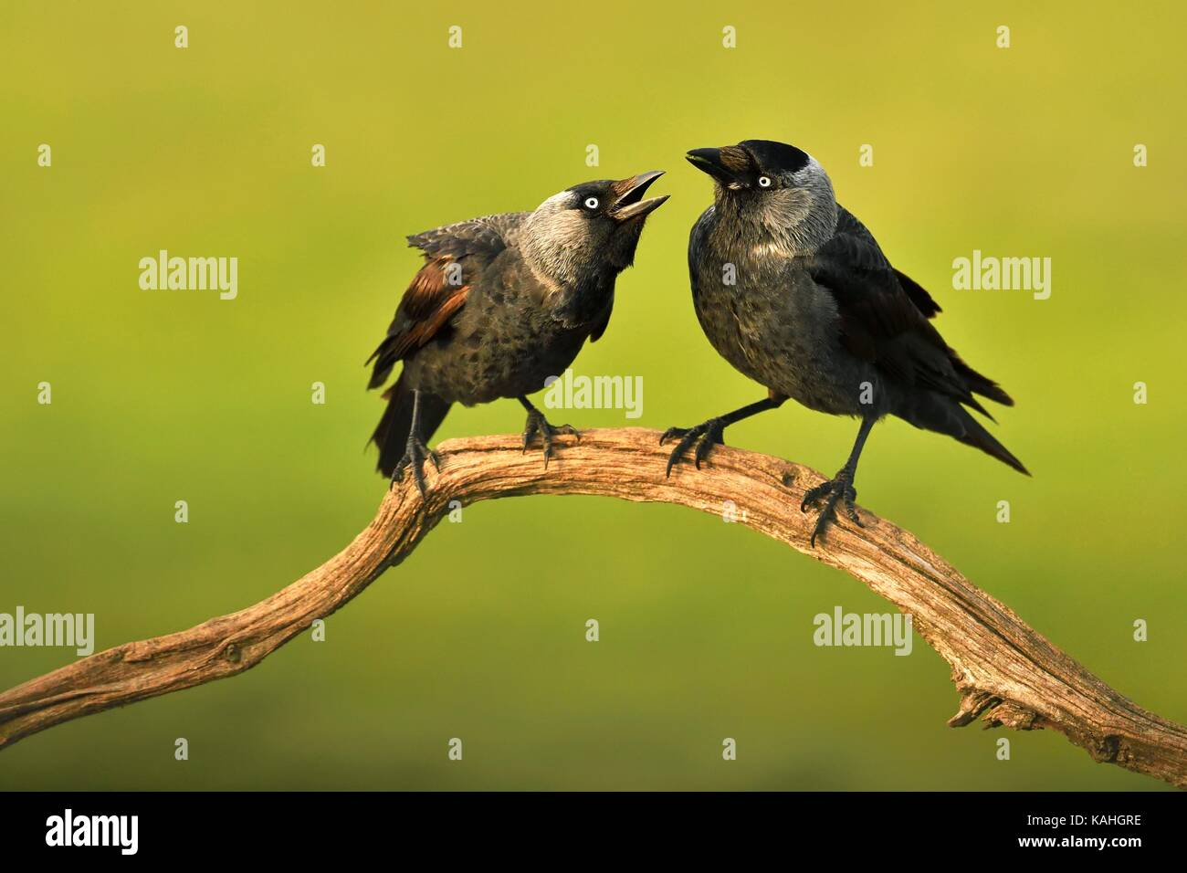Western jackdaws (Corvus monedula) at the courtship auf Ast, Kiskunsag National Park, Hungary - Stock Image