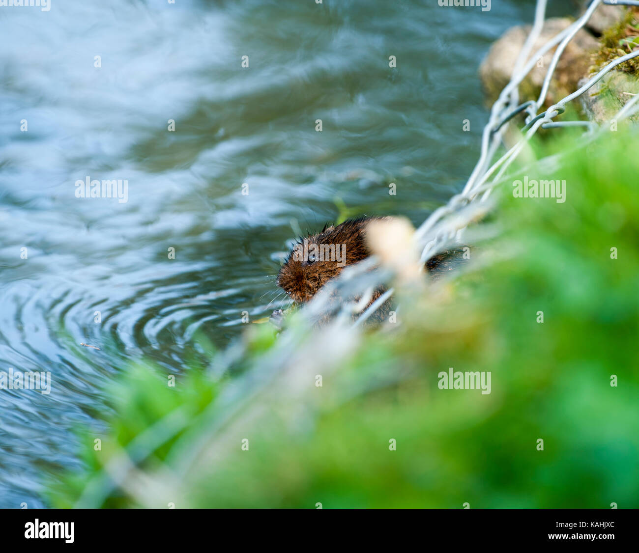 The European water vole or northern water vole Arvicola amphibius, included in synonymy: A. terrestris, England, - Stock Image