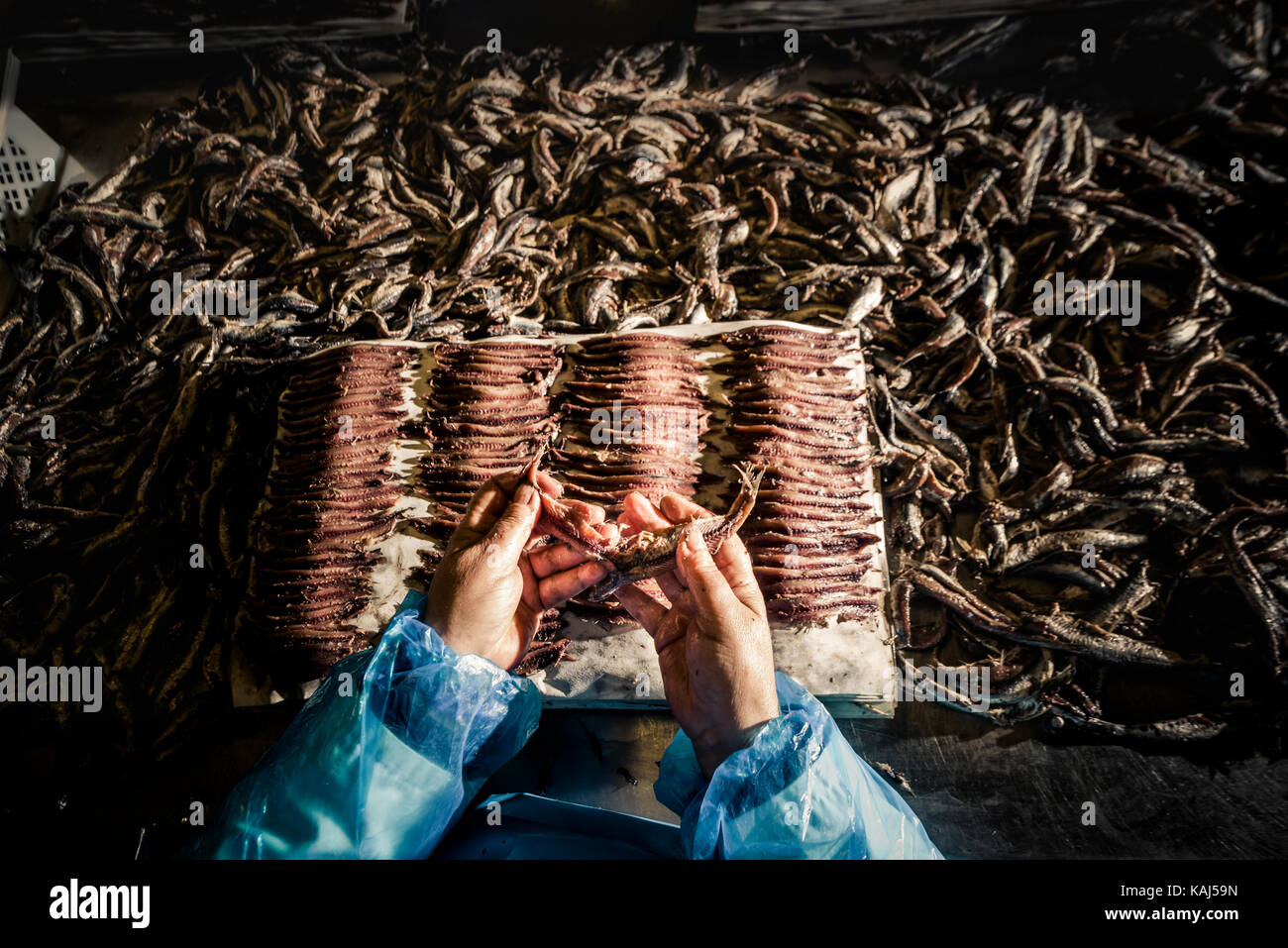 Preparing and filleting salted anchovies at the Roque Anchois anchovy factory in Collioure  France - Stock Image