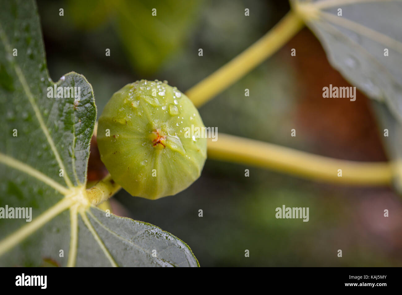 A fig on a branch after rain - Stock Image