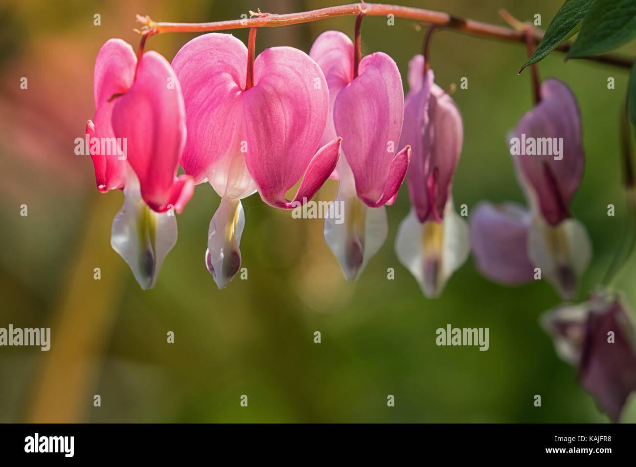 Pink bleeding heart flowers dicentra spectabilis in full bloom pink bleeding heart flowers dicentra spectabilis in full bloom mightylinksfo