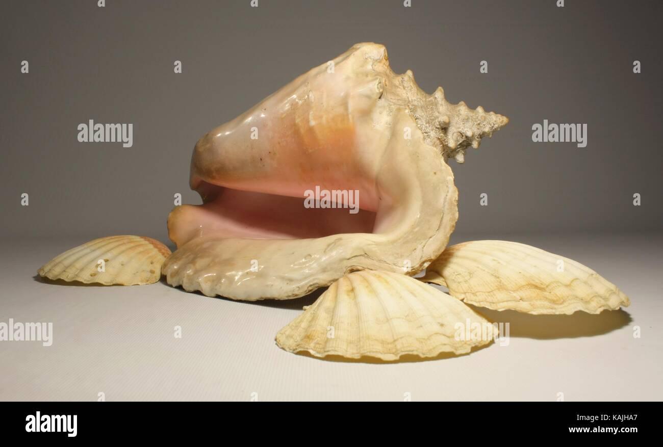 giant shell - Stock Image