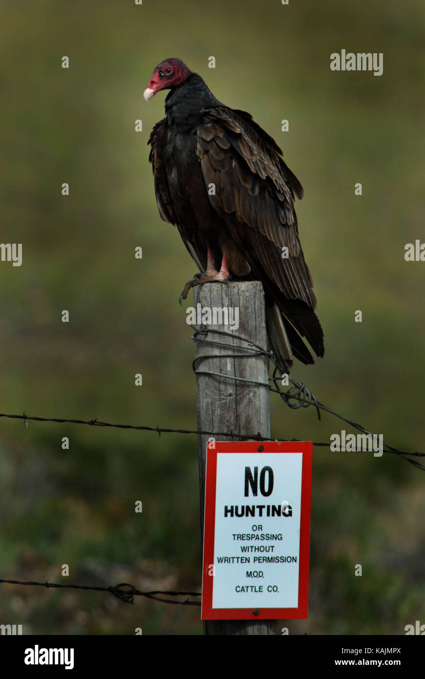 Turkey Vulture Sitting on a Fence Post with a No Hunting Sign - Stock Image