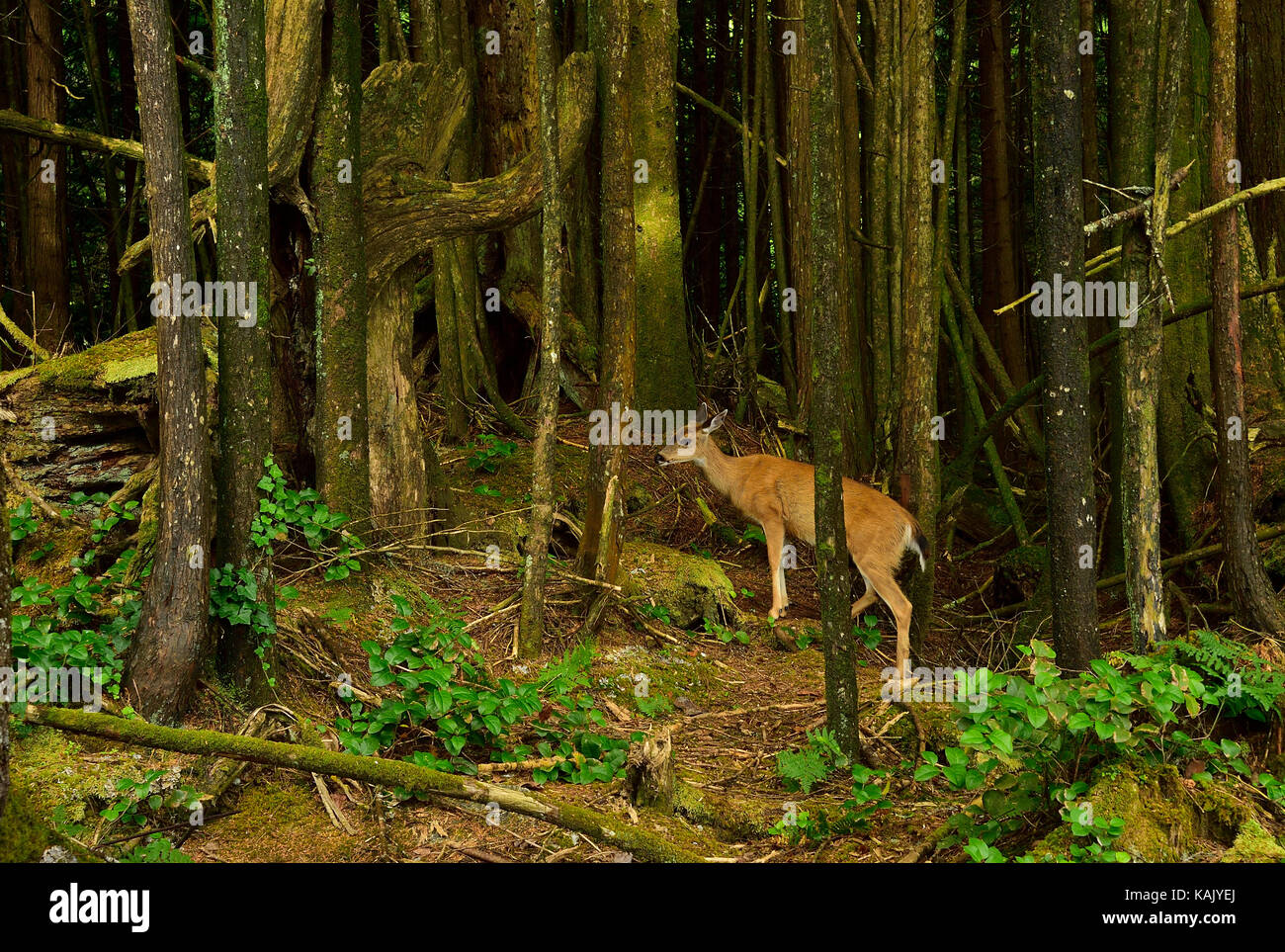 A female Columbian Black-tailed deer (Odocoileus hemionus columbianus),  in its home invironment on the west coast - Stock Image