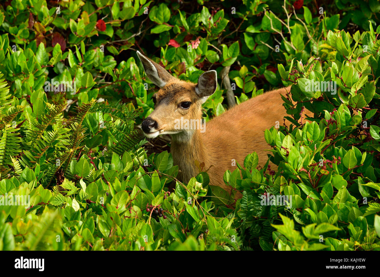 A wild female Black-tailed deer  (Odocoileus hemionus columbianus);foraging through the heavy vegetation along the - Stock Image
