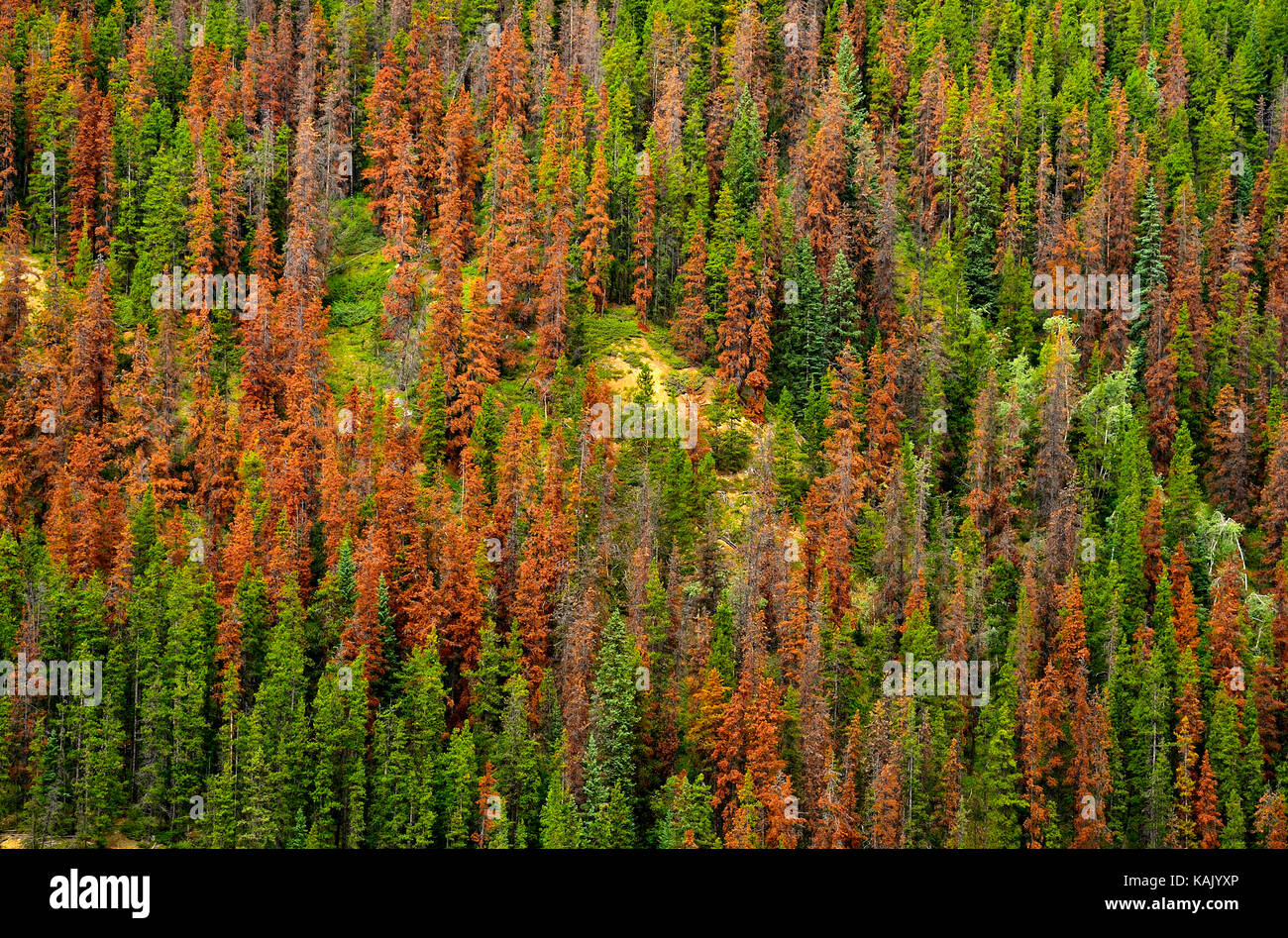 Red pine trees on a mountain side, dead from the pine beetle infestation in Jasper National Park Alberta Canada - Stock Image