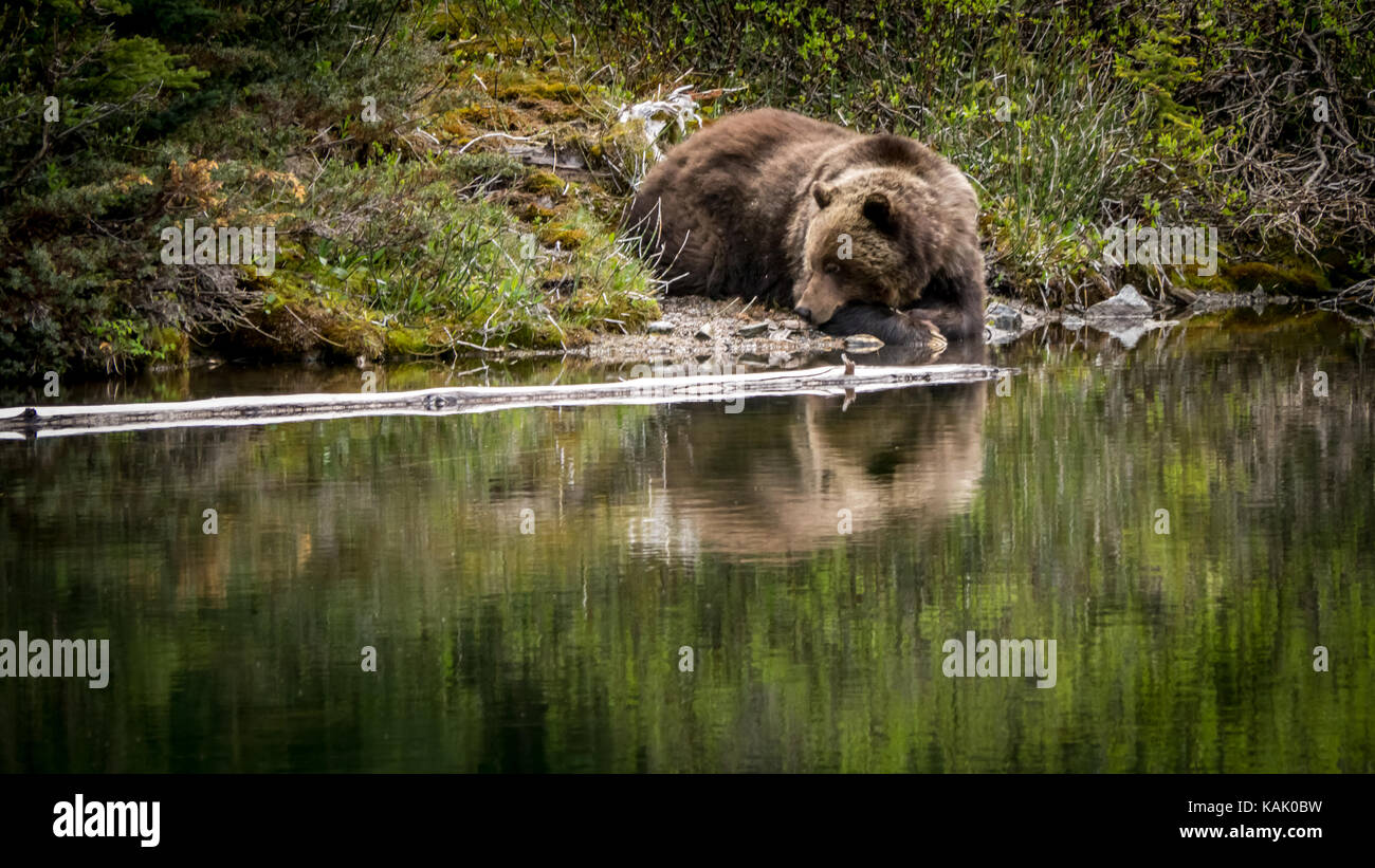 Male grizzly Bear (Ursus Arctos ssp.) resting at a pond close to Spruce Lake in the South Chilcotin Mountain Park, - Stock Image