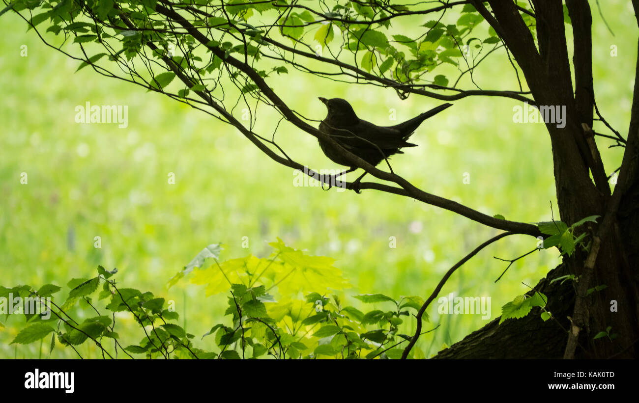 Weibliche Amsel/ Female blackbird (Turdus merula) on her way out from her nest. (Picture taken in Großer Garten, - Stock Image